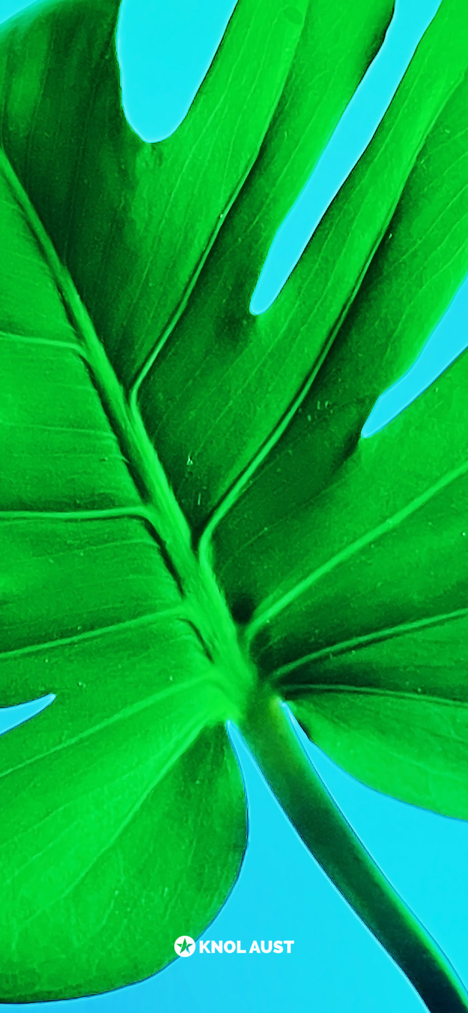 Photo of a monstera delicosa with a cyan background made for smartphone devices