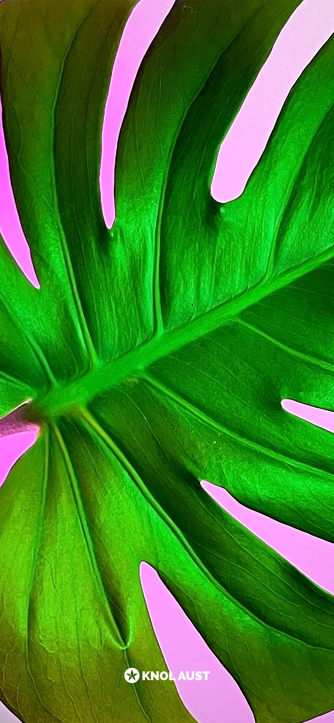 Photo of a monstera delicosa with a magenta background made for smartphone devices